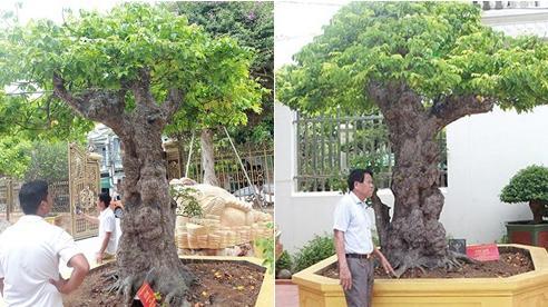 Ngắm cây khế cổ 3 tỷ đồng của đại gia chơi cây cảnh 'ngông' nhất Việt Nam