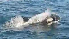 'Cá voi sát thủ' bao vây, tấn công dữ dội tàu thuyền ở Tây Ban Nha