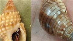 Xác định loại ốc lạ gây ngộ độc làm chết người ở Khánh Hòa