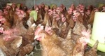 Nhập lậu gia cầm tăng, Bộ Nông nghiệp 'thúc' xử lý nghiêm