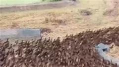 Thái Lan: Lùa 10.000 con vịt ra đồng làm sạch ruộng lúa