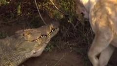 Một đấu ba, cá sấu khổng lồ có thắng sư tử?