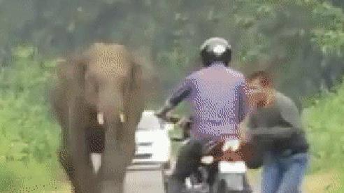 Thấy voi có biểu hiện lạ, hai thanh niên vứt xe máy chạy bán sống bán chết