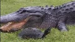 Cú thoát hiểm của rùa từ hàm cá sấu