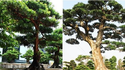 Ngắm 'chúa trùm thảo mộc' thế bonsai giá tiền tỷ, đại gia quý hơn vàng