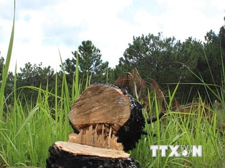 Lâm Đồng: Xử phạt 6 đối tượng phá rừng với số tiền gần 500 triệu đồng