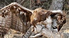 Đại bàng sà cánh mổ mù mắt thằn lằn khổng lồ