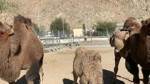 Ấn Độ triển khai kế hoạch ấp ủ hơn 3 năm cho binh sĩ biên giới: Nhận thêm lạc đà, 'hổ mọc thêm cánh'?
