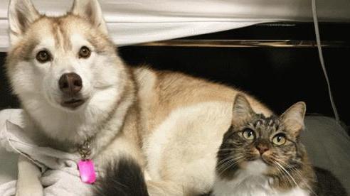 Những hình ảnh 'cưng xỉu' về tình bạn đặc biệt giữa mèo và chó Husky