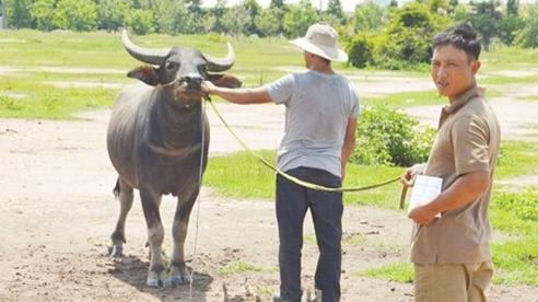 Công an 'bóc gỡ' đường dây trộm trâu, bò chuyên nghiệp liên tỉnh