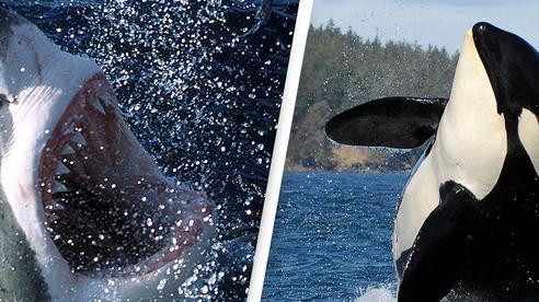 Cá voi sát thủ rạch bụng, moi gan 'sát thủ đại dương'?