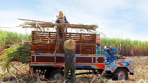 Cây mía Việt Nam vươn mình qua thách thức