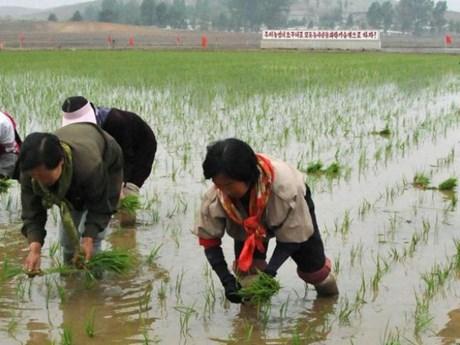 Triều Tiên kêu gọi nỗ lực sản xuất gạo để xây dựng đất nước