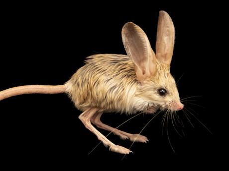 Jerboa: Loài vật đáng yêu được kết hợp từ chuột, thỏ, lợn, chuột túi?