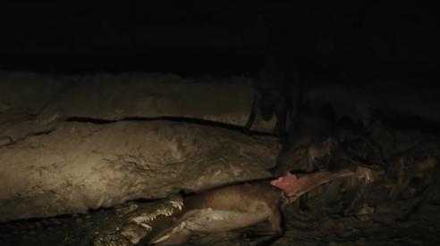 Linh cẩu đoàn kết cướp lại mồi từ cá sấu
