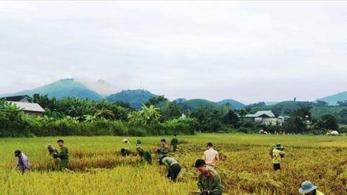 Nghệ An: Công an, bộ đội, thanh niên xuống đồng giúp dân gặt lúa