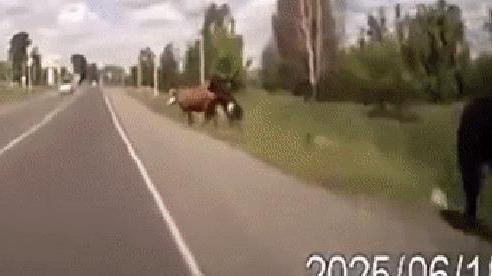 Chạy trốn khỏi bạn tình sung sức, bò cái đâm vỡ kính xe hơi khi vội thoát thân