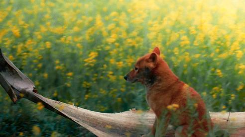Phim 'Cậu vàng' lộ diện sau ồn ào chọn 'diễn viên chó'