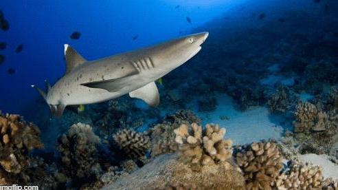 Đi chơi khu nghỉ dưỡng Ai Cập, du khách bất ngờ bị cá mập tấn công