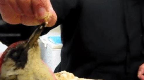 Giải mã chiếc lưỡi dài bằng 1/3 cơ thể, được quấn quanh não của chim gõ kiến