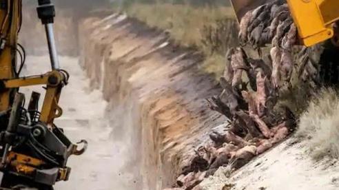 Đan Mạch chôn sống 17 triệu con chồn, giờ lại phải đào lên