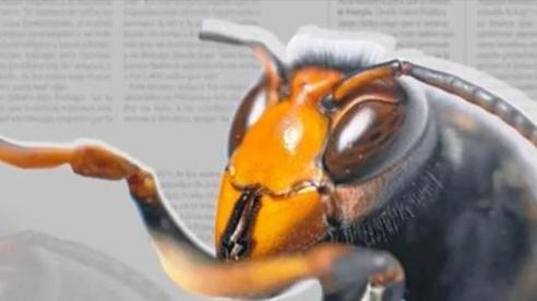 Châu Âu tuyên chiến với loài ong ngoại lai xâm lấn