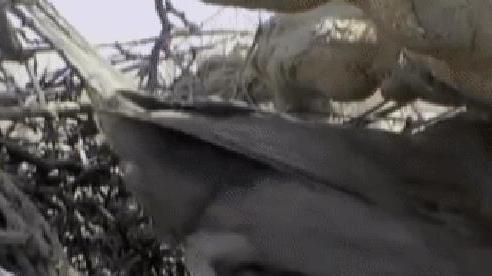 Rắn vua leo cao trộm trứng bị chim hoạ mi mẹ phát hiện, bị mổ và rơi đau đớn