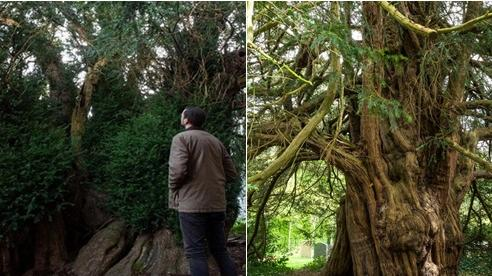 Video: Cây đại thụ 'già đời' nhất nước Anh 'chuyển giới' sau 3.000 năm