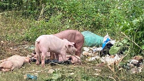 Công an lên tiếng về vụ việc đàn lợn cả trăm con bị vứt bỏ ven đường khiến người dân kinh hãi