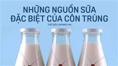 Sữa gián, sữa ruồi và quá trình nuôi con bằng sữa mẹ vô cùng dinh dưỡng của những loài côn trùng mà loài người chán ghét