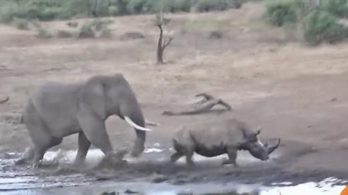 Dọa đánh đuổi voi, mẹ con tê giác nhận trái đắng