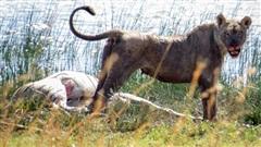 Số phận ngựa vằn mang thai gặp sư tử đang nuôi con