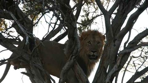 Sư tử leo cây cướp mồi, báo đốm buông xuôi giữ mạng