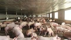 Quên lời hứa với Bộ trưởng, ồ ạt tăng giá thịt lợn kiếm lời
