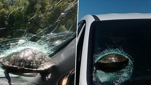 Lái xe hoảng hồn khi rùa 'bay' làm vỡ kính xe