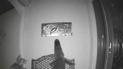 Mò vào nhà dân kiếm ăn lúc rạng sáng, cá sấu bất ngờ vồ rùa trên tranh treo tường