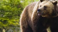 Video: Bị gấu bám theo, cậu bé 12 tuổi thoát nạn bằng cách không ngờ