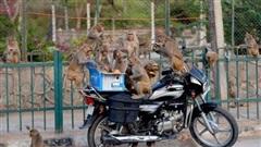 Bầy khỉ chạy trốn sau khi lấy cắp mẫu máu bệnh nhân COVID-19