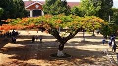 Làm hàng rào 'cách ly' cây phượng cổ thụ