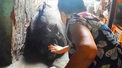 Lạ nhất Việt Nam: Nuôi heo rừng 200 kg làm thú cưng