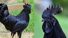 Loài gà kỳ lạ nhất thế giới: Con nào cũng đen thui, người cứ như ngã vào mỏ than