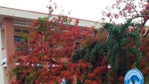 Lại thêm 1 cây phượng bật gốc ngã đổ ở trường tiểu học