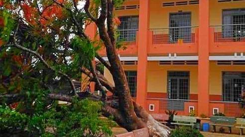 Lại thêm một cây phượng cao lớn bật gốc trong sân trường ở Đồng Nai