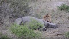 Sư tử đơn độc giết tê giác: Sự thật ẩn giấu?