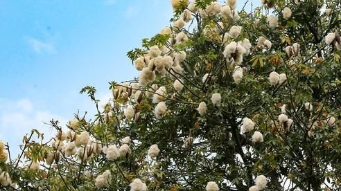 Ngỡ ngàng giữa nắng hè Hà Nội lại có những nơi bung nở 'hoa tuyết'