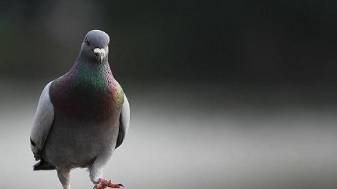 Ấn Độ thả tự do cho chim bồ câu bị nghi là 'gián điệp' của Pakistan