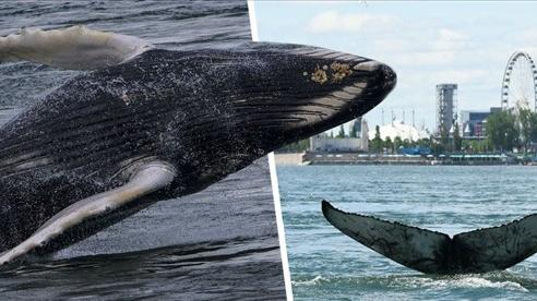 Hi hữu: Cá voi lưng gù khổng lồ xuất đầu lộ diện trên sông ở Canada