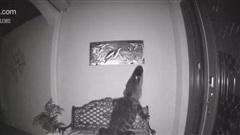 Cá sấu bò vào nhà dân tìm được chú rùa tưởng có bữa ăn ngon lành trước khi phát hiện con mồi là 'hàng fake'
