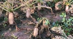 Người nông dân nguy cơ trắng tay vì sâu tơ tàn phá ruộng đồng