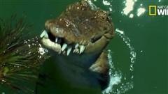 Cá sấu phi thân khỏi mặt nước tóm gọn dơi